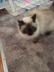 Female Ragdoll Cowra Cowra Area Preview