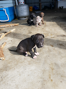 Bull arb x pitt ball puppies Gympie Gympie Area Preview