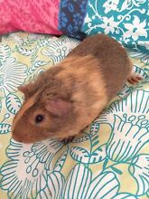 Young Male Guinea Pig Smithfield Plains Playford Area Preview