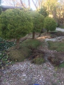 Dwarf Evergreen trees