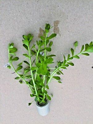 1 Bund Kleines Fettblatt, Bacopa monnieri, Wasserpflanze, Aquarienpflanze ()