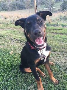 Purebred Kelpie Kybong Gympie Area Preview