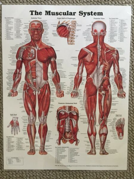 Huge Anatomy Charts X 4 For Nursingmedchirophysio Students