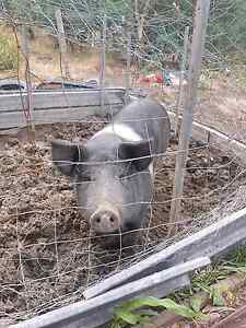 Sow and porkers Dromedary Brighton Area Preview