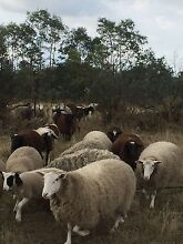 Sheep for sale!! Clyde Casey Area Preview