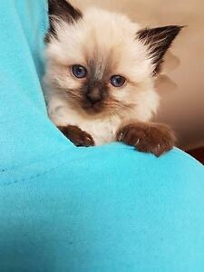 Purebred Ragdoll Kittens Hill Top Bowral Area Preview