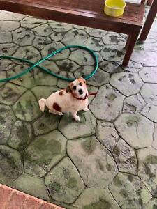 Jack Russell x Free to Good home | Dogs & Puppies