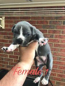 American Staffordshire Terrier Blue amstaff staffy