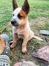 Red cattle dog pup Tamworth Tamworth City Preview