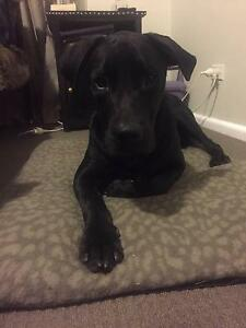 Murphy Needs a New Home (lab x staffy) Caringbah Sutherland Area Preview