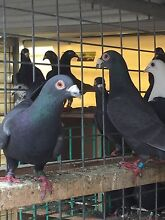 Quality racing pigeons Hoppers Crossing Wyndham Area Preview