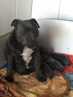 English Staffordshire Bull Terrier Blue Pups Staffy Staffies Puppies Camden Camden Area Preview