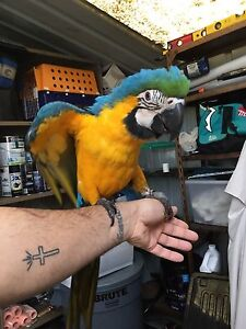 Male blue and gold macaw Fairfield Heights Fairfield Area Preview