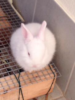 Netherland baby rabbit for sale Thornlie Gosnells Area Preview