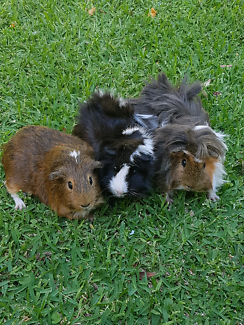 3 Guinea pigs for sale + 2 story hutch