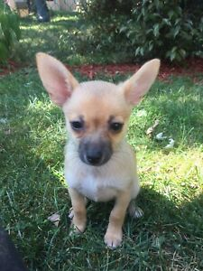 Chihuahua | Adopt Dogs & Puppies Locally in Canada | Kijiji