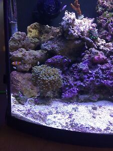 Gold/silver frogspawn coral