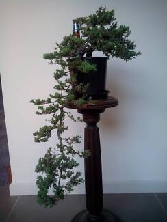 Juniper P Nana for Bonsai Pennant Hills Hornsby Area Preview