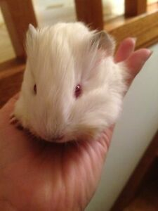 Male Guinea Pig (PEW) Thomastown Whittlesea Area Preview