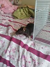 2 Baby rats for sale (5 months) Narre Warren Casey Area Preview