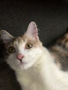 2 year old female cat .. Leumeah Campbelltown Area Preview