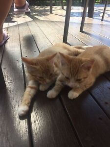 Kittens Inverell Inverell Area Preview