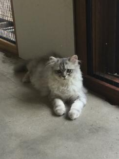 Chinchilla Persian kitten Kuranda Tablelands Preview