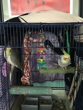 Hand raised cockatiels (weiros) Cloverdale Belmont Area Preview