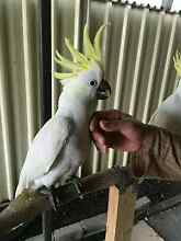 Semi-Tamed, New Season's Baby Cockatoo for Sale. Roxburgh Park Hume Area Preview