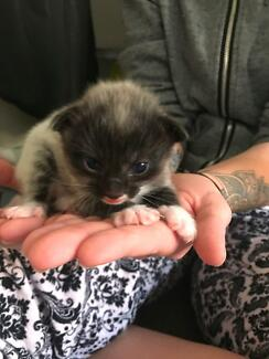 Kittens for sale - Redbank plains