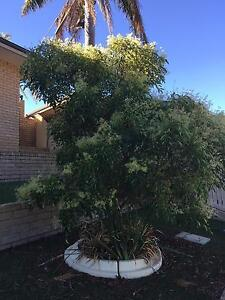 Mature flowering ash tree Coogee Cockburn Area Preview