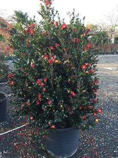 Camellia Yuletide 150 litre Pot Good Quality and Size!! Annangrove The Hills District Preview