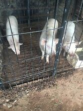 Pigs Warburn Griffith Area Preview