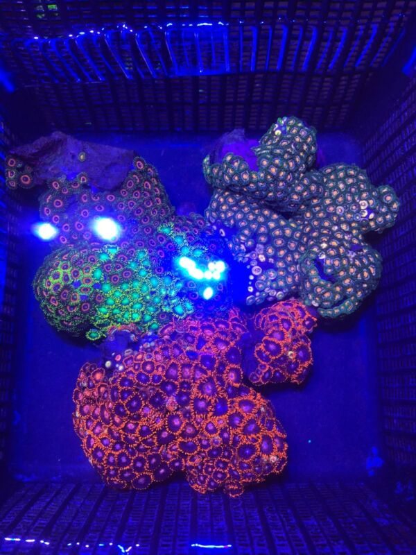 Live Mini Colony Multi Color Zoanthid Colony Coral Frag Saltwater