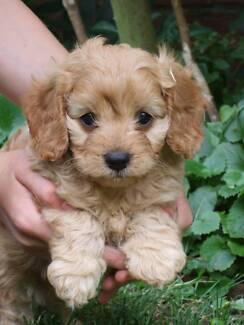 Cavoodle Puppies First Generation, ready to go !