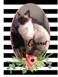 """CHANEL"" THE ATTRACTIVE PUREBRED QUEEN  Slacks Creek Logan Area Preview"