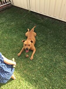 Free to good home english staffy Nerang Gold Coast West Preview