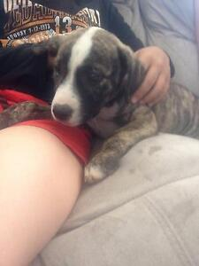 2x Female Staffy X Pups Banksia Grove Wanneroo Area Preview
