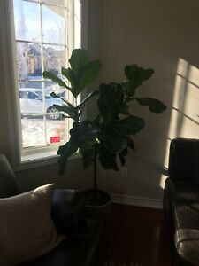 Ficus Lyrata live indoor plant with pot