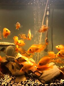 Red Devil Cichlids