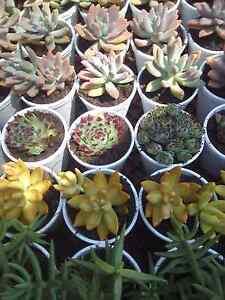Succulent plants Bidwill Blacktown Area Preview