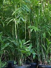 SUPER CHEAP!! Established Bamboo Palms and Lady Palms Heathmont Maroondah Area Preview