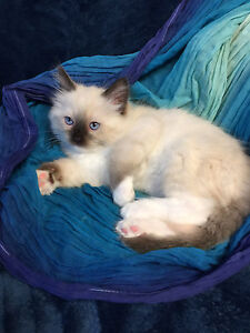 Very Handsome Male TICA Registered Purebred Ragdoll Kitten
