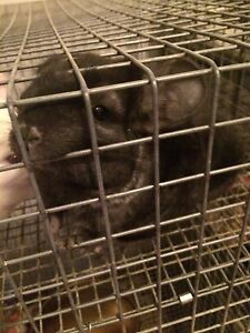 Ebony Chinchilla kits for sale