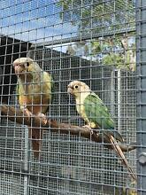Blue Pineapple Green Cheek Conures - Proven Breeding Pair Brisbane City Brisbane North West Preview