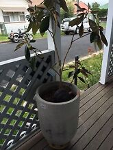Magnolia potted plant grey pot on wheels base Mayfield East Newcastle Area Preview
