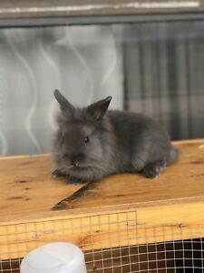 9 Weeks Old Purebred Dwarf Lion Head Bunnies Male an female