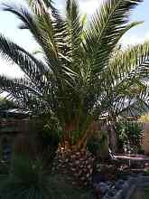 Palm tree for sale Langwarrin Frankston Area Preview