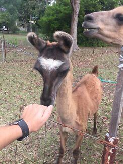 Llama male 2 year old