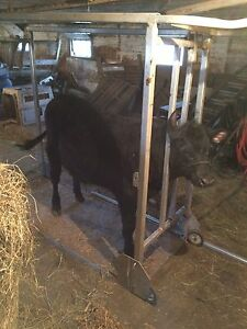 2 Black Angus steer's